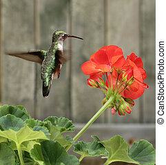 Hummingbird and Flower - Female ruby-throated hummingbird,...