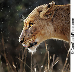 Lioness portrait in the rain - Portrait of a lioness in the...
