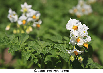 Blossoming potato plants