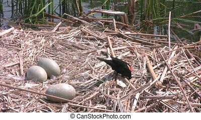 Red-winged Blackbird - Outdoor footage of Adult Red-winged...