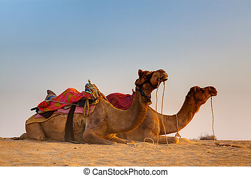 in thar desert near jaisalmer - camel sitting khuri dunes in...