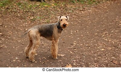 Airedale Terrier stands in park