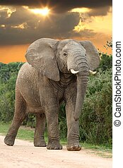 African Elephant at Sunset - Big angry male African Elephant...