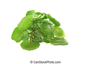 Watercress - a sprig of fresh watercress on white background