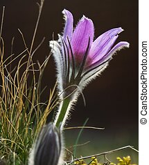 Pasque flower - Close up of purple pasque flower