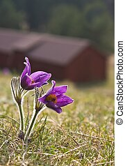 Pasque flower in fron of a building on a farm