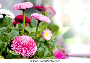 pot of Bellis perennis - a pot with daisies alias Bellis...