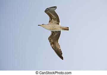 seagull in flight - View of a juvenile seagull in plain...