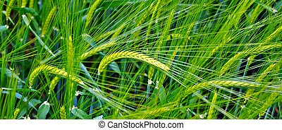 Detail of wheat