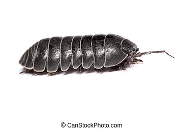 Woodlice bug - Close up view of a common woodlice bug...