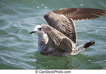 seagull swimming - Close view of a juvenile seagull swimming...