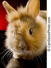 Dwarf Rabbit with Lion's head - photo of adorable dwarf...