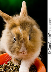 Dwarf Rabbit with Lion's head with his food bowl - photo of...