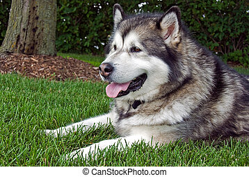 Alaskan Malamute lying on the grass in the shade.