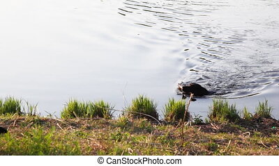 Dog breed Labrador retriever floats in river to coast brings...