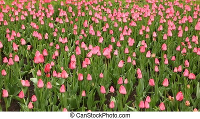 Glade with lots of pink tulips - large green glade with lots...