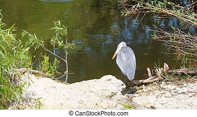Great Blue Heron Ardea herodias in the wetlands of...
