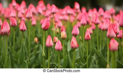 Flower beds with pink tulips - close-up flower beds with...