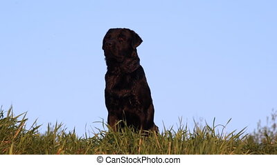 Dog breed Labrador retriever sits on grass - big black dog...