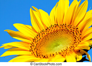 sun flower close up