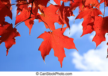 Red maple leaves on a blue background