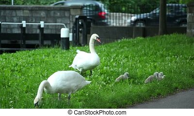 Two swans and cygnets are nibbling grass sunny cloudless day...