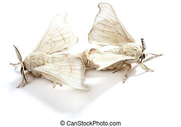 papillon, Ver soie, soie, ver, isolé, blanc