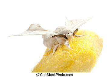 butterfly of silkworm over yellow cocoon on white background