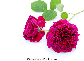 purple rose - Single purple rose with green leaves on white