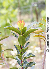 Strawberry Tree (Arbutus Unedo) - Close up view of a branch...
