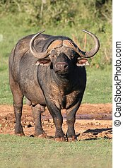 African Buffalo - Large male African Cape Buffalo with huge...