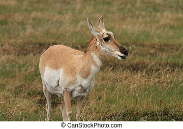 Healthy pronghorn deer - Alert and healthy pronghorn deer on...
