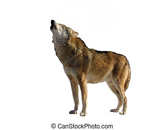 Isolated singing wolf on a white background
