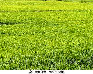 Ricefield - Backlit shot of ricefield during sunrise;...