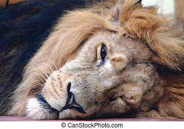 lion head - sleeping lion head of king of animals