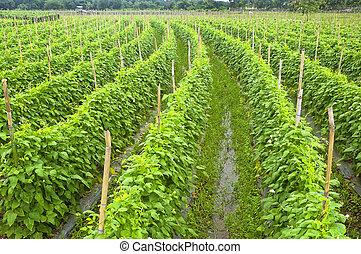 Vegetable Farm - String beans plantation North of Luzon,...