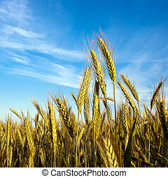 Grain in front of sky - a grain-field in front of blue sky