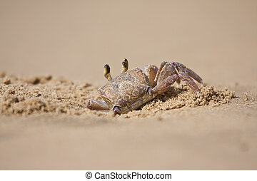 Crab peeping out of hole in sand on beach closeup focus sunlight