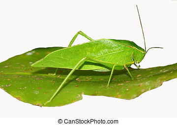 Green Katydid on a green leaf,Isolated on white background