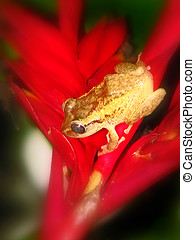 Juvenile Coqui frog on bromeliad red flower
