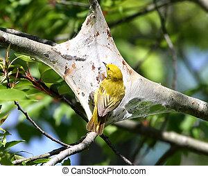 Yellow Warbler stealing webbing - Yellow Warbler Dendroica...