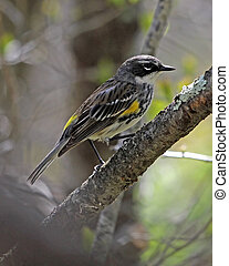 Yellow-rumped Warbler male - Yellow-rumped Warbler...