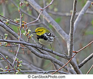 Black-throated Green Warbler Dendroica virens male in spring...
