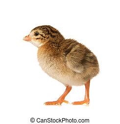 Newbown Guinea Fowl Keet - One Day Old Guinea Fowl Keet