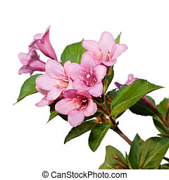Weigela. branch plants with flowers