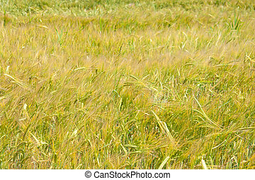 wheat before harvest. end of summer. yellow time