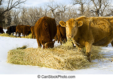 Cows feed on hay during winter - A herd of cows eat hay...