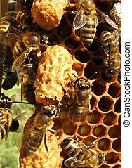 Life and reproduction of bees - Two cocoon. Upper gnawing....