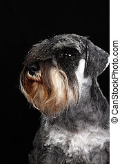 schnauzer portrait - shnauzer portrait close up isolated on...