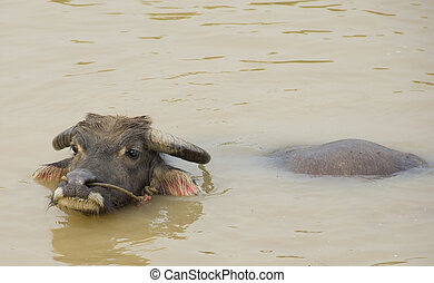 Water buffalo refreshing himself in a river